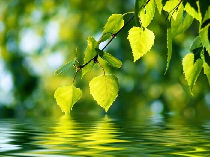 Свежее берёзовые листья