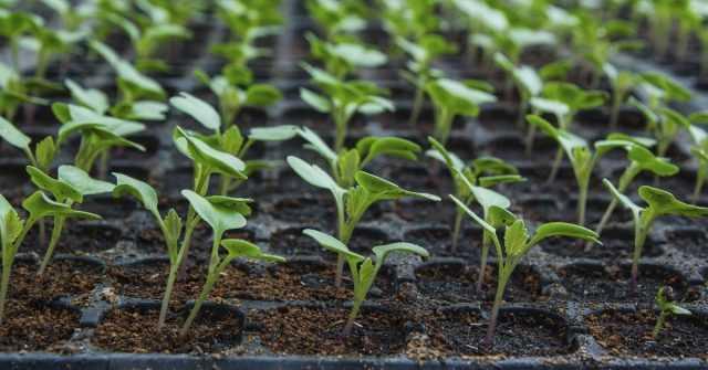 Когда сеять капусту на рассаду — благоприятные даты лунного календаря 2019 года, тонкости посадки в регионах, посев, пикирование, когда май лучший месяц для высадки